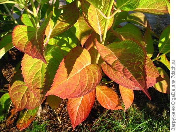 Покраснение листьев у гортензии