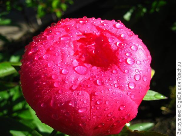 Пион под дождём