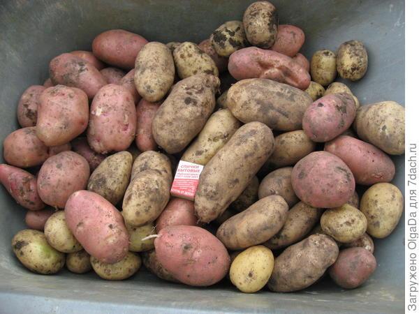 Урожай. Красный картофель вырос из не выкопанных с осени клубней