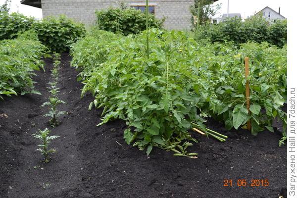 А эти помидоры прошлого года и был хороший урожай.