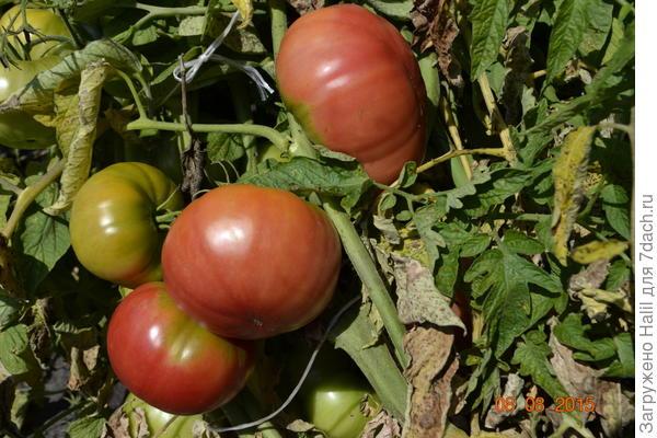 И урожай прошлого года.В этом году как начнут краснеть помидоры сфотографирую и выставлю.