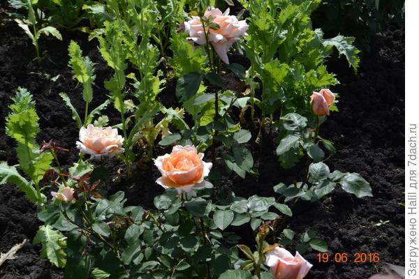 Розы,люблю розы.