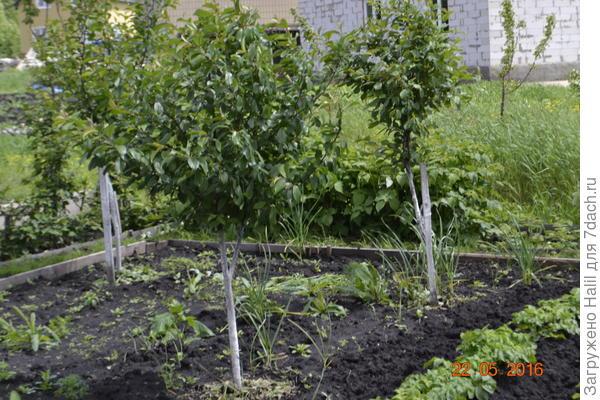На этом фото с левой стороны видно куст винограда,ни чем не защищён,после дождя листья стали засохли.