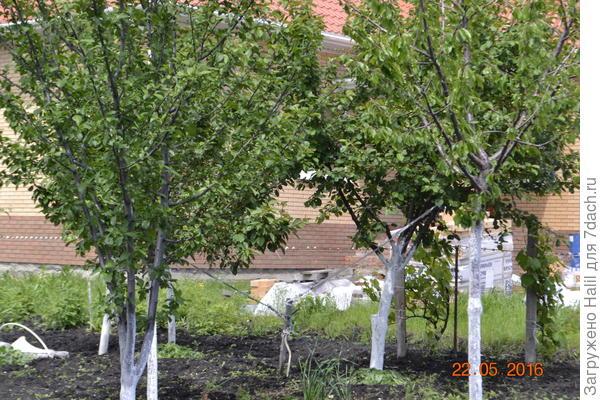 Вот за деревьями виноград,после дождя листья не  засохли,потому-что дождь из-за деревьев не попадал.