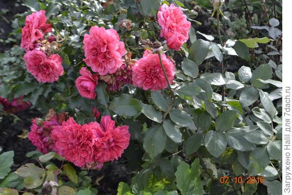 Розы бордюрные.