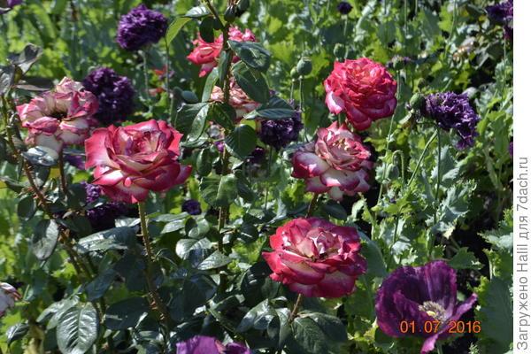 Роз и маки.