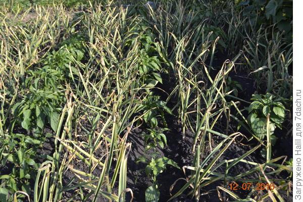 На этом фото чеснок озимый посажен прошлый год,а весной посажен перец.