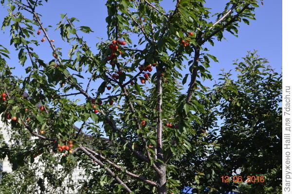 Вот черешня после дождей плоды начали чернеть.