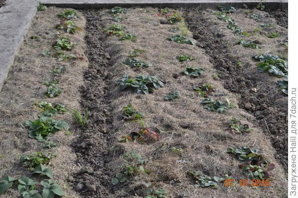 Замульчировано скошенной газонной травой.