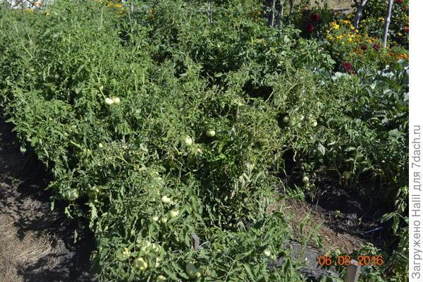 А эти помидоры в открытом грунте.