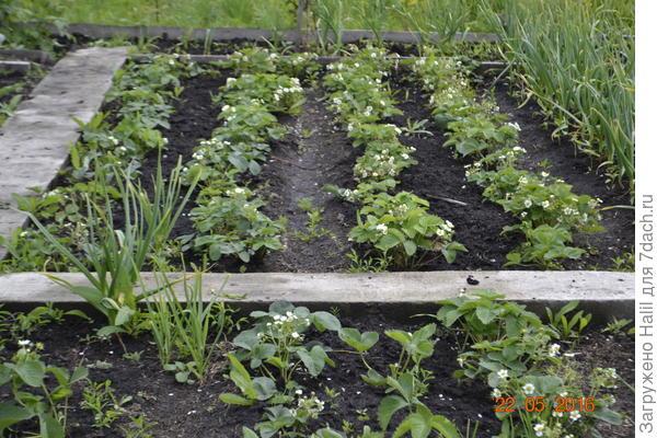 А эту клубнику после сбора урожая выкорчую,ей уже больше трёх лет.На первом фото показано новая посадка.