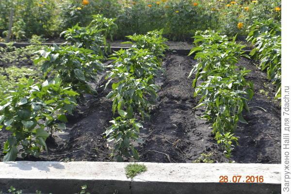 После уборки чеснока растет перец.