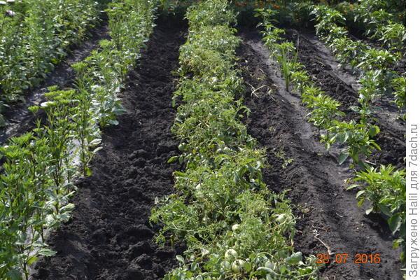 На этом фото после уборки лука растет помидоры перец и даже цветы астры.