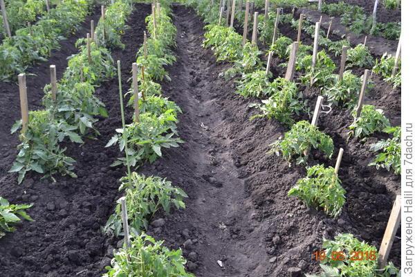 Вот так сажаю рассаду в открытый грунт.И по мере роста рассаду окучиваю.И поливаю по бороздкам