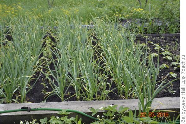 В чесноке посажен перец,чтобы после уборки чеснока земля не пустовала да весны.