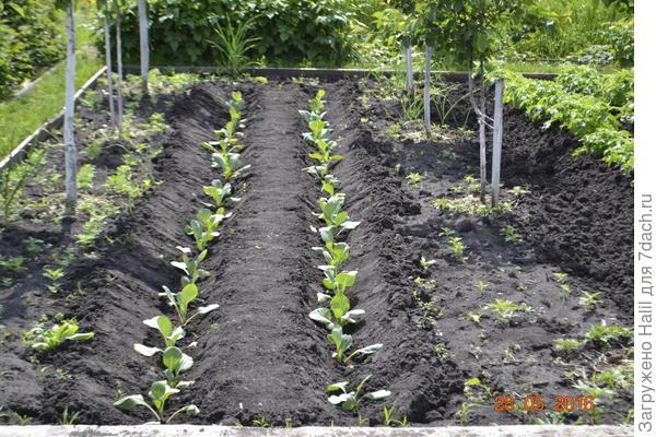 Капусту рассаду сажаю бороздку и поливаю по бороздкам.По мере роста капусту окучиваю и между двумя рядами образуется бороздка для полива.