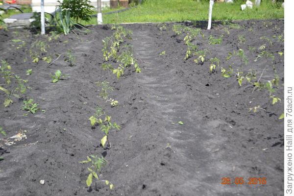 Вот посадка рассады томатов.