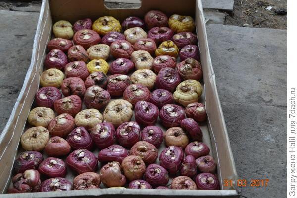 Вот мои луковицы гладиолусов.Фото сделано в конце марта,а сейчас имеются ростки.