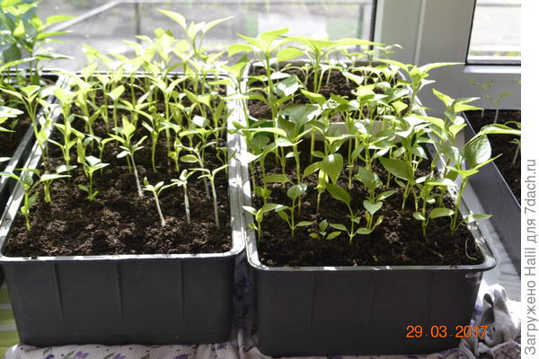 Слева ящичек помидоры,с права перцы.