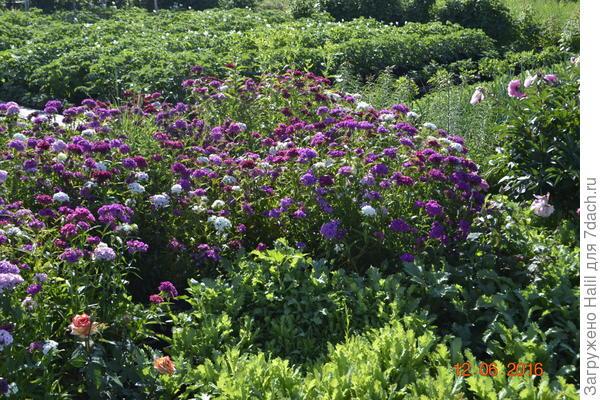 На дальном плане цветет и растет картофель.