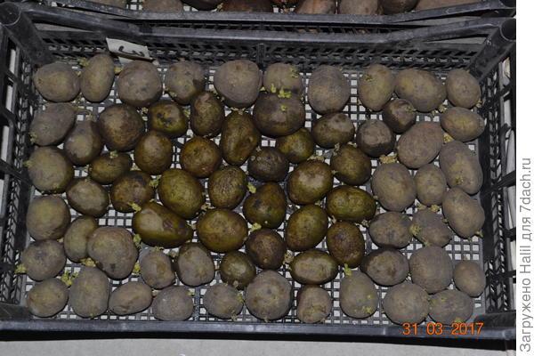 Вот так проращиваю картофель и периодически опрыскиваю водой из пульверизатора,чтобы клубни не сморщились.