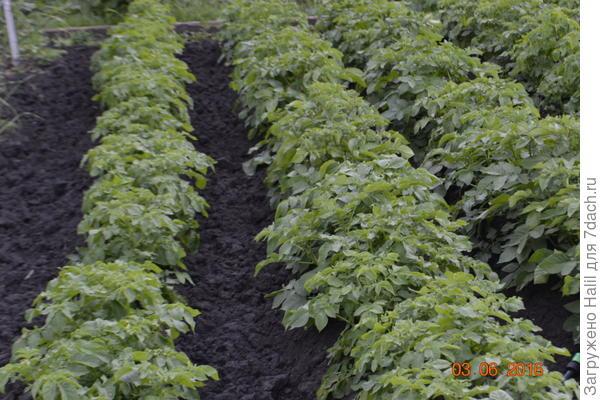 Картофель прошлого года растет хорошо и урожай был хороший.