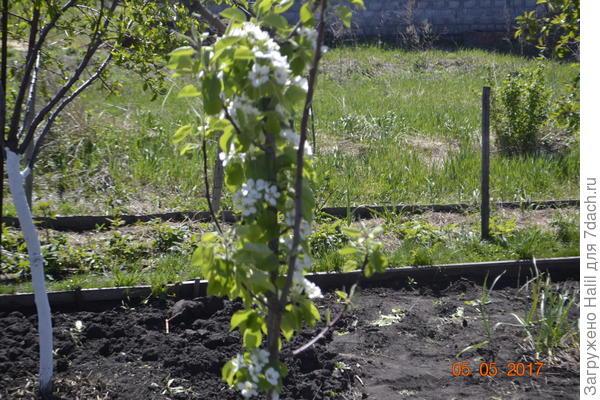 Груша карликовая цветет.