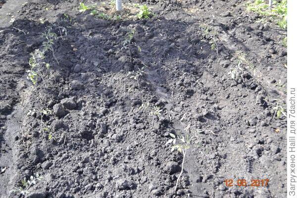 Вот помидоры,фото получилось не удачный,но видно рассада,и все желтые листья срезал и оставил только зелёные.