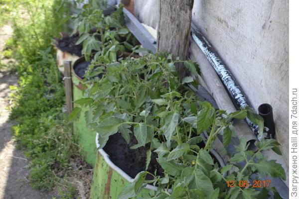 А эти помидоры растут с южной стороны и постоянно под солнцем,и сверху имеется навес,чтобы не попадал дождь,на помидоры.