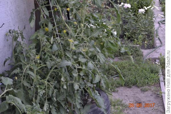 А эти помидоры растут под навесом,защищен от дождей,у нас иногда бывают дожди загрязненные промышленными выбросами.