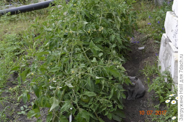 Котенку прохладно среди томатов.