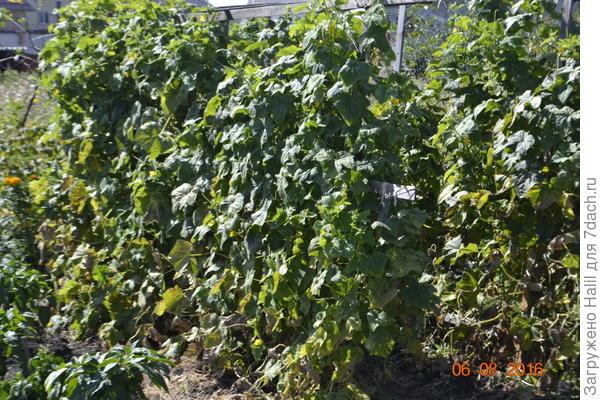 Вот огурцы прошлого года.Внизу много пожелтевшие литья,ну и что,а урожай хороший.