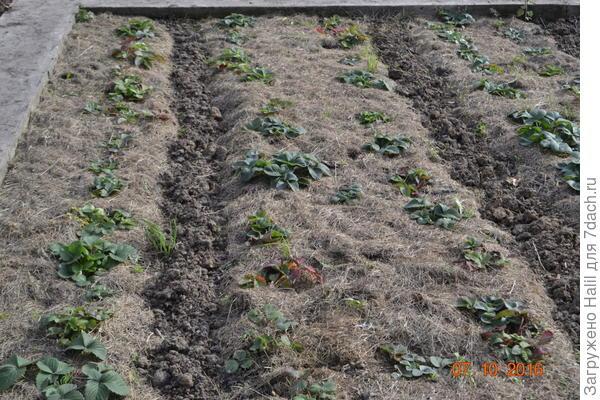 Клубнику мульчирую скошенной газонной травой.