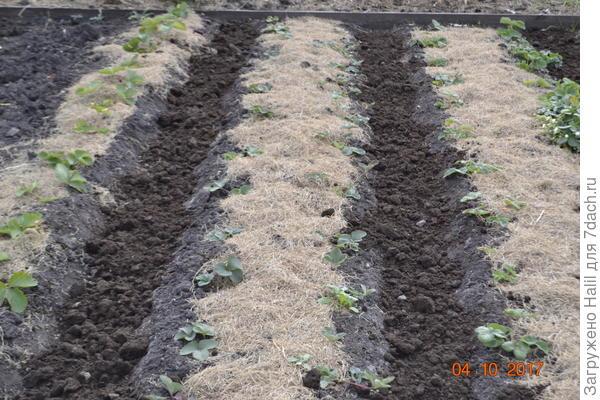 Замульчировал скошенной газонной травой.