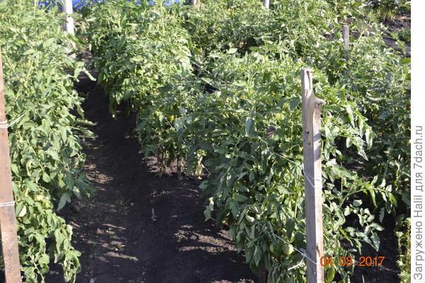 Вот мои помидоры на открытом грунте.