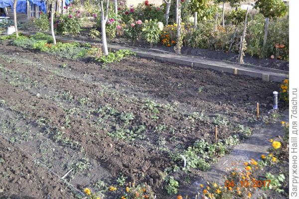 А на этом фото крайне правое участочек посадил лук семейный для зелени употреблять весной зелёный лук.