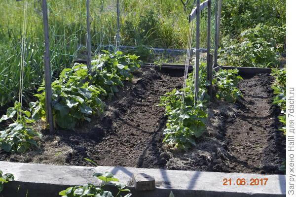 Огурцы,выращиваю и применяю навоз