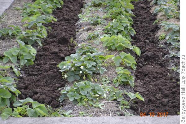 При выращивание клубники в бороздке навоз-перегной и поливаю по бороздке,то есть по навозу.