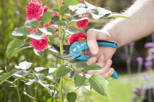 Обрезка роз: виды и сроки