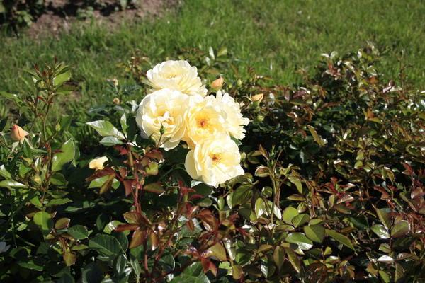 У почвопокровных роз нужно регулировать загущенность