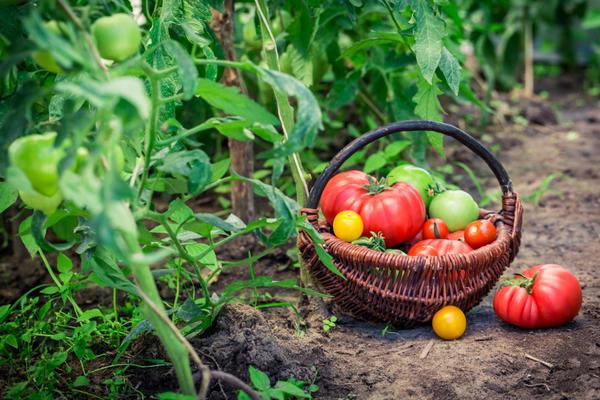 Для меня основной довод заниматься садом и огородом - это возможность питаться своими овощами и фруктами