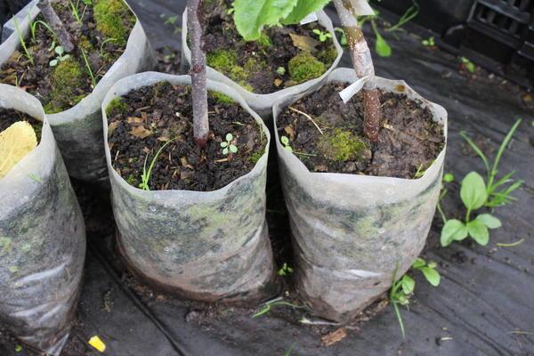 Растения с ЗКС можно сажать с апреля по октябрь