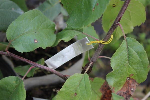 Питомники, которые сами производят свой посадочный материал, могут гарантировать соответствие сорта