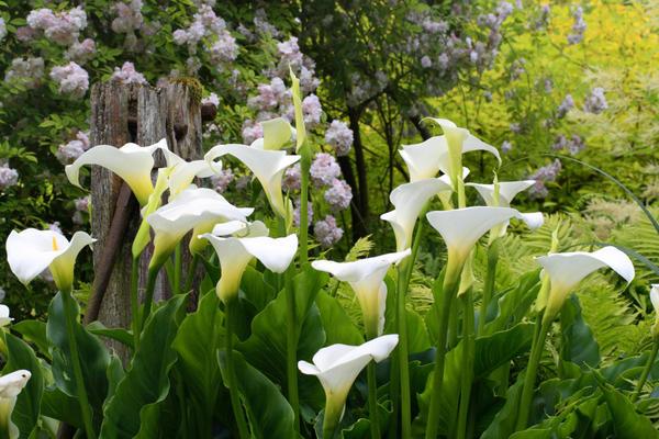 Для пышного цветения калле нужны регулярные подкормки. Фото с сайта www.monrovia.com