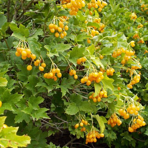 Размер куста и листья у желтоплодной калины такие же, как у красноплодной. Фото с сайта promessedefleurs.com