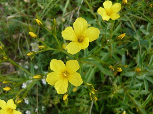 Лен желтый. Фото с сайта botanische-spaziergaenge.at