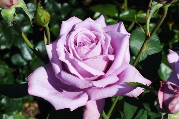 Голубая роза сорта Mamy Blue. Фото с сайта garden.org