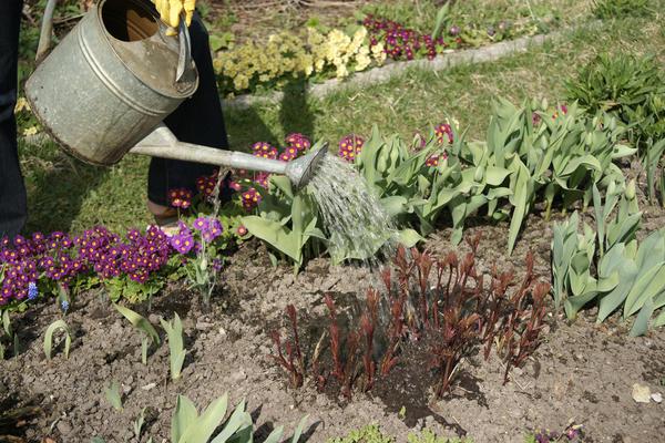 В сухую погоду пионы нужно поливать
