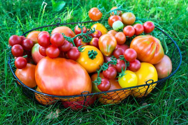 Мы с вниманием отнеслись к отзывам наших клиентов и решили рассказать о томатах, которые в прошедшее ненастное лето дали отличный урожай