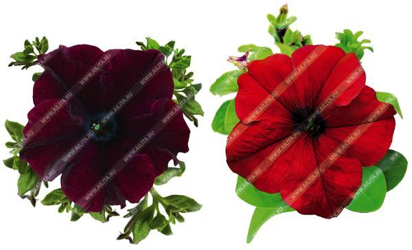 Комплиментуния крупноцветковая Винно-красная F1 и Бургунди F1